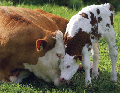 mama_cow_and_baby_from_book-reduced_f0cd_ekh0